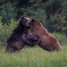 Grizzly Bear - Males Fighting by Turk Images