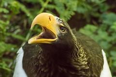 Steller's sea-eagles