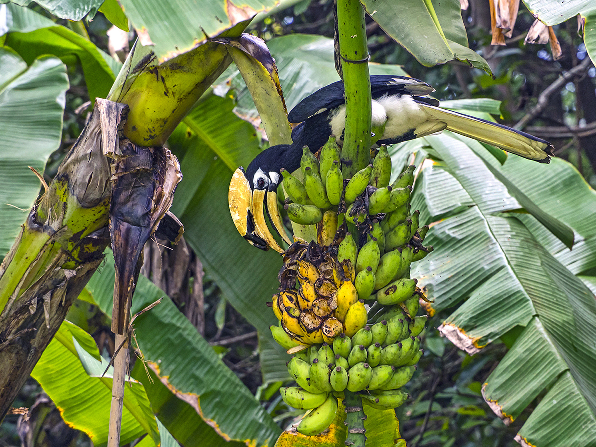 Banana Feast - Oriental Pied Hornbill