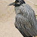 Yellow-crowned Night Heron  7671 by Bonnieg2010