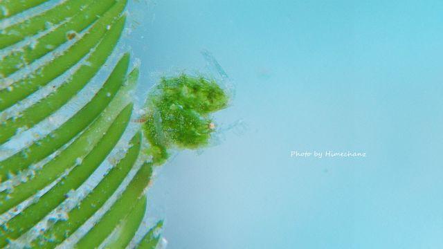 緑色のフィコカリス・シムランス