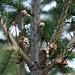 Small photo of Abies balsamea (Balsam Fir)
