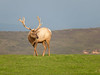 Elk at Point Reyes