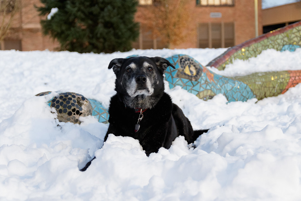 Our dog Ellie sits in the snow beside the dragon statue at Irvington School in Portland, Oregon