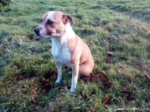 Sat, Jan 7th, 2017 Found Female Dog - Tintrim, Whitegate,, Clare