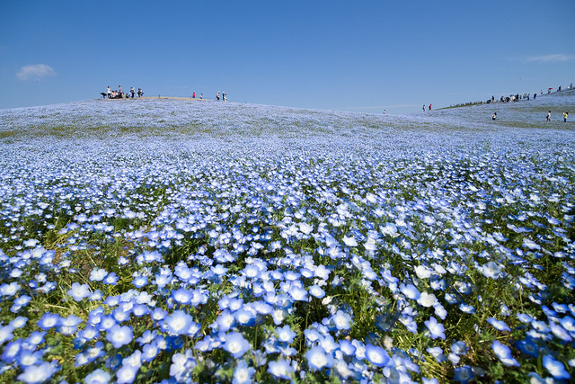 Hitachi Seaside Park 9