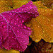 Rainy Coral Bell Leaves by Jeannot7