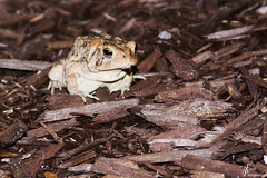 Frogs @ Founders Inn_0004_sig