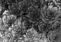 hen&chicks_B&W_GAM_9779
