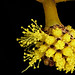 Small photo of Golden Wattle (Acacia pycnantha)