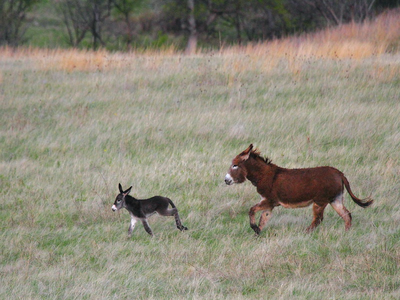 IMG_0044 Burros, Custer State Park