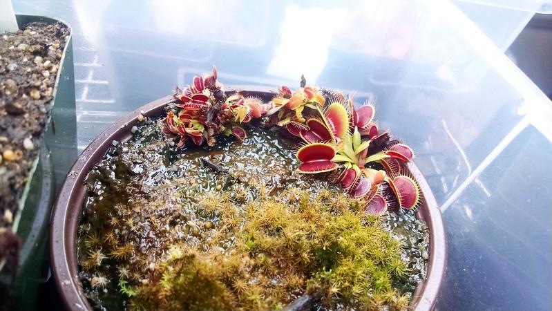 Dionaea 'B-52' plantlets.