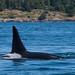 Orca near San Juan Islands by TylerIngram