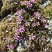 Saxifraga oppositifolia (Kerrie Porteous)