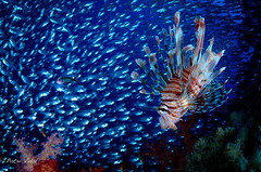Lionfish (Pterois volitans) hunting glassfish