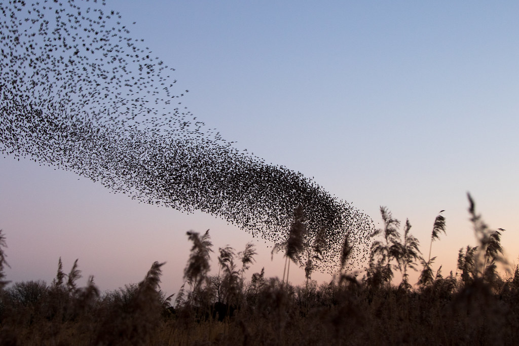 Murmurating starlings at Studland - Click to show full size