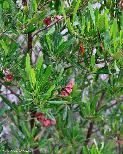 Dodonaea viscosa subsp. ? - Scotts Cove, Cape Borda, Flinders Chase National Park, Kangaroo Island, South Australia