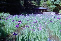 花菖蒲, 生田緑地 Iris, Ikuta ryokuti park