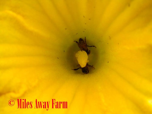 Bees and Squash Flowers