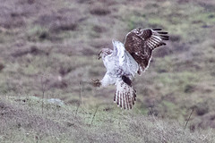 Ferruginous Hawk, juvenile light morph