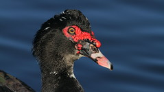 Muscovy Duck- Orange Lake