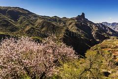 Almendros en flor y Roque Bentayga - Tejeda - Isla de Gran canaria - ROF4663-20170116