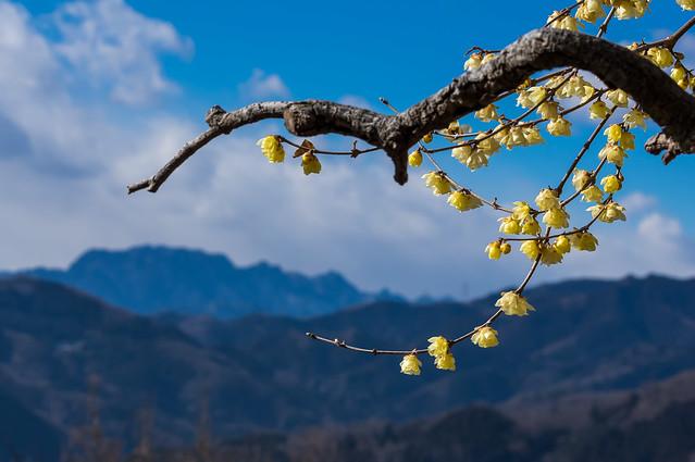 蠟梅と両神山