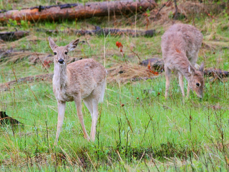 IMG_9988 White-Tailed Deer