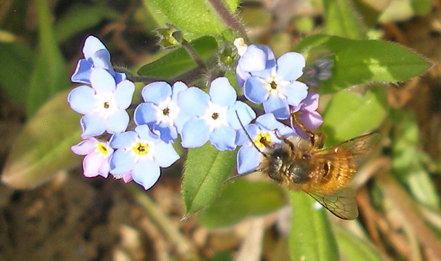 Osmia feeding from Forget me Not