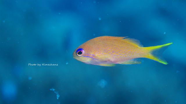 キンギョハナダイの幼魚もキレイ♪