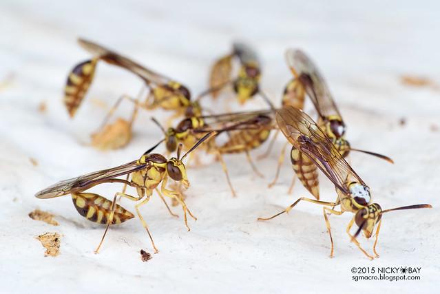 Wasps (Apocrita) - DSC_4302