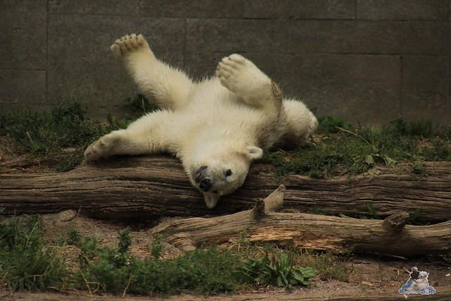 Eisbär Fiete im Zoo Rostock 12.07.2015 0283