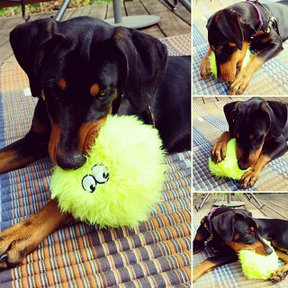 Penny especially loves the #GoDog #Furballz #dogtoy in this month's #pupbox She loves the big purple one that was Lola's favorite, so this was a sweet surprise. @pupbox #dobermanpuppy #puppyplaytime #rescuedpuppiesofinstagram #instapuppy #puppiesofinstagr