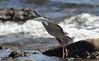 White Faced Heron in Flight