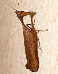 South American Dead Leaf Mantis (Acanthops sp.)