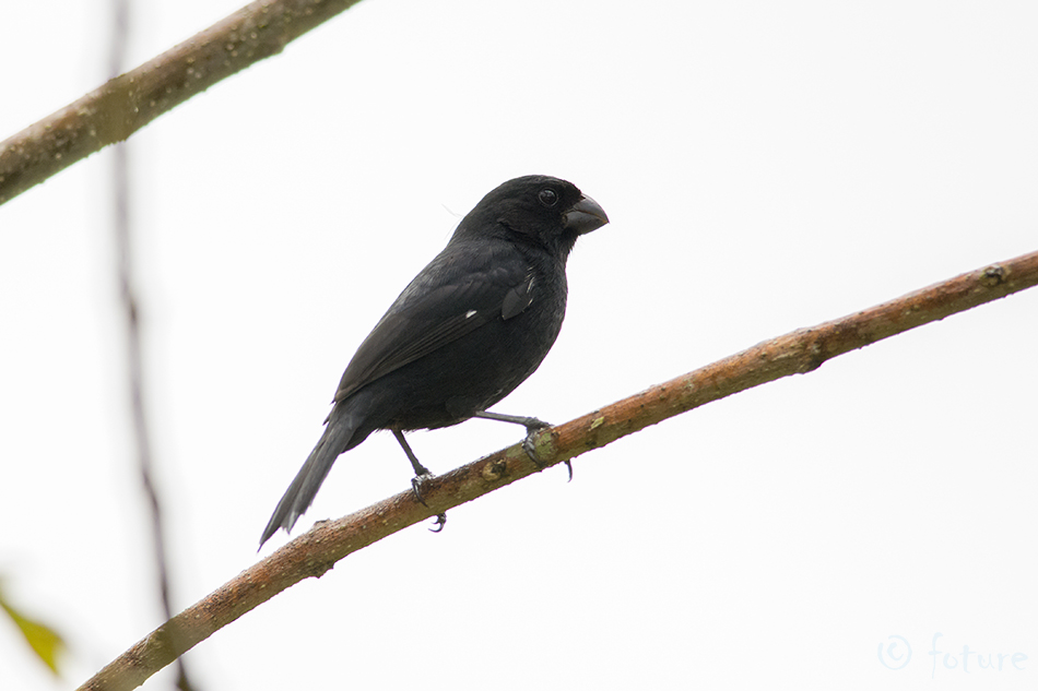 Sporophila, corvina, aurita, Variable, Seedeater, Caño, Negro, Wildlife, Refuge, Costa Rica, Kaido Rummel