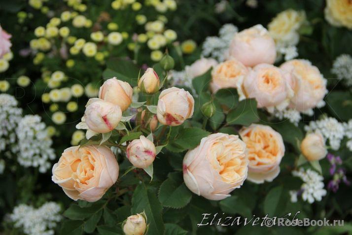 Những đóa hoa hồng belle romantica phối trí với 1 số loại hoa cắt cành khác có thể dùng làm hoa cưới.
