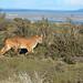 Puma, Torres Del Paine (Helen Pinchin)