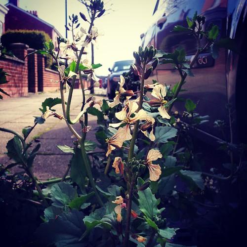Eruca vesicaria #GardenRocket #Stretford #Manchester #UrbanFlora #botany