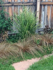 Zebra Grass (tall) and Leather Leaf Sedges (short brown clumps in foreground)