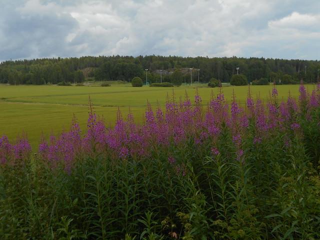 Niittykasveja 20.7.2015 A Espoon Karakallion ja Leppävaaran välinen peltoalue