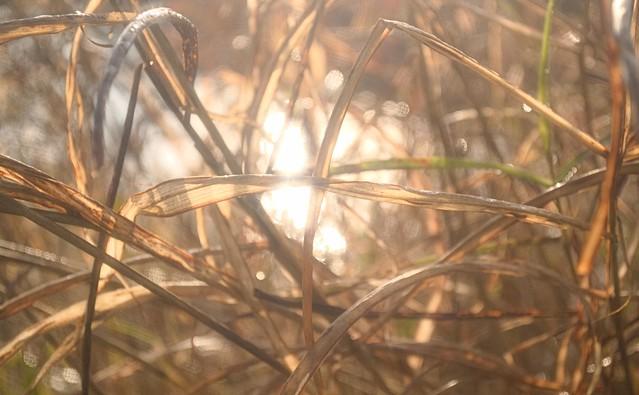 Dew Covered Grass, Backlit
