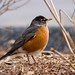 American Robin - Photo (c) Eric Heupel, some rights reserved (CC BY-NC)