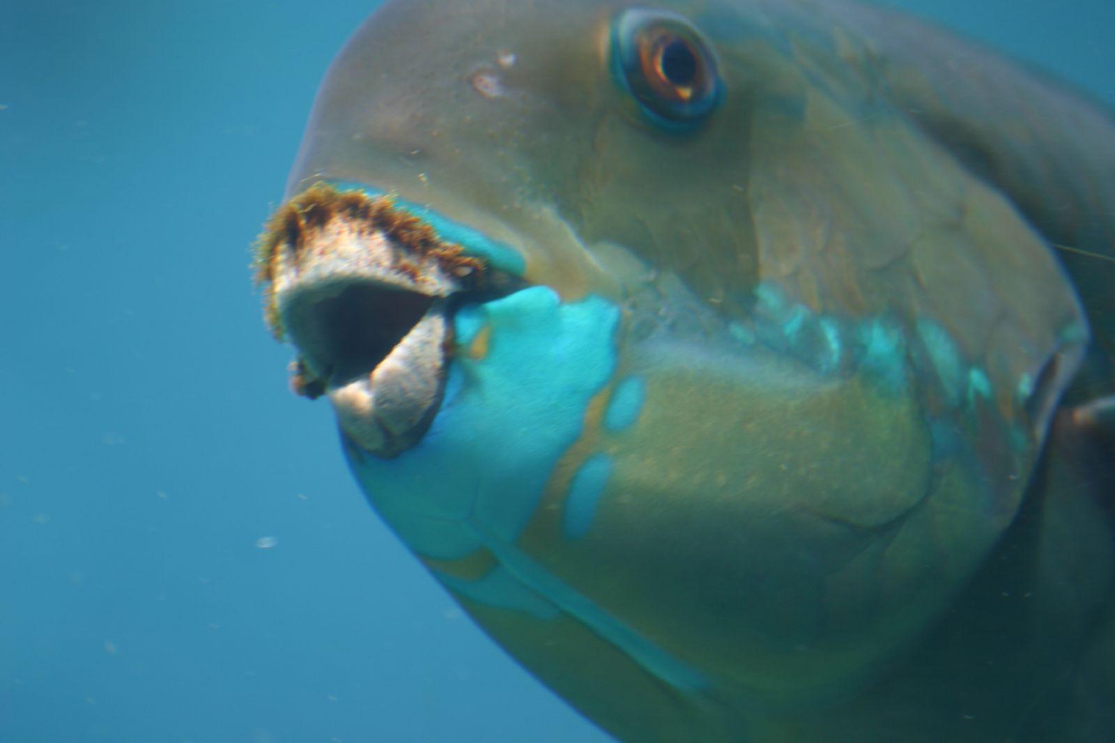 Parrotfish Teeth