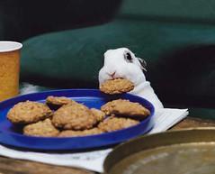 Baby rabbit stealing cookie
