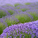 Lavender - available for license from getty