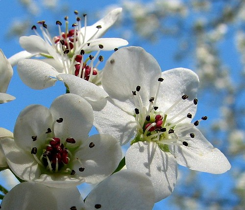 Bradford pear blossoms