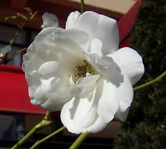 White flower 04