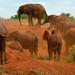Elephants dust-bathing - Tsavo, Kenya