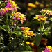 Patch of Lantana & Bee
